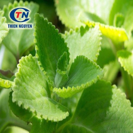 Coleus Extract (Chiết xuất húng chanh)