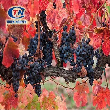Chiết Xuất Lá Nho Đỏ - Red Vine Leaf