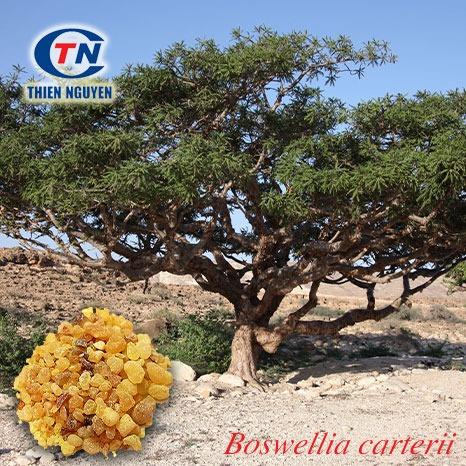 Boswellia Carterii Extract