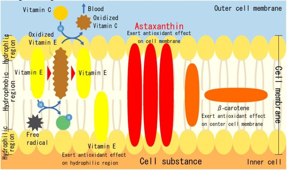 Astaxanthin – chất chống oxy hóa từ thiên nhiên 2