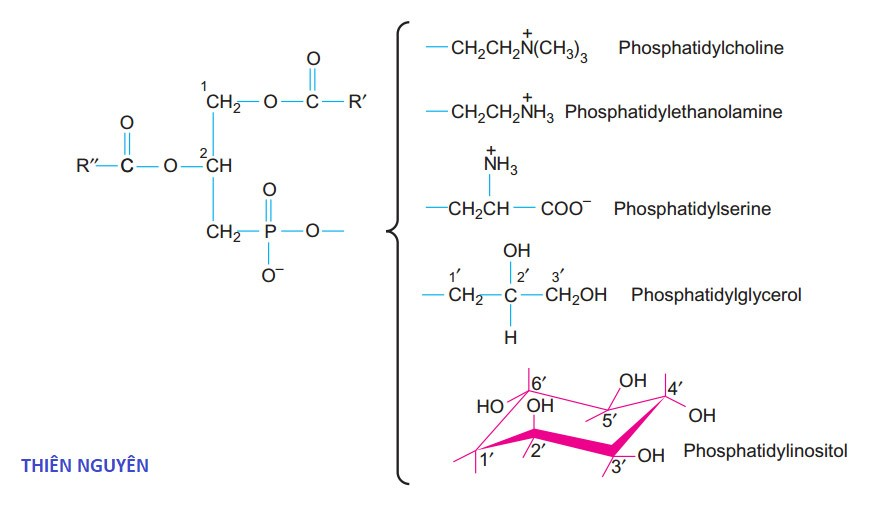 Cấu trúc của Phosphatidylcholin và một số Glycerophospholipid khác