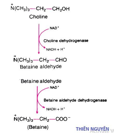 Quá trình tổng hợp Betain từ Cholin
