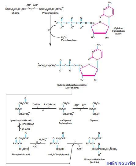Quá trình tổng hợp Phosphatidylcholin từ Cholin
