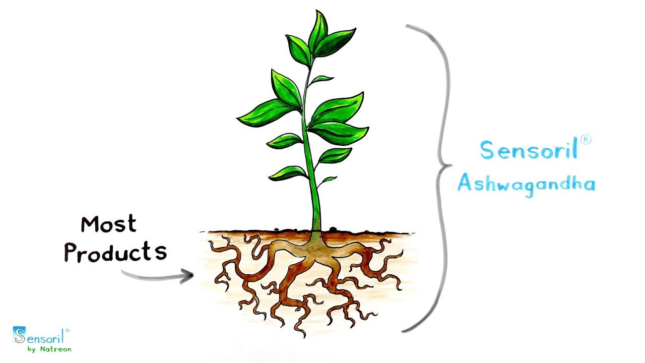 Sensoril® chiết xuất từ phần rễ và lá của cây nhân sâm ấn độ