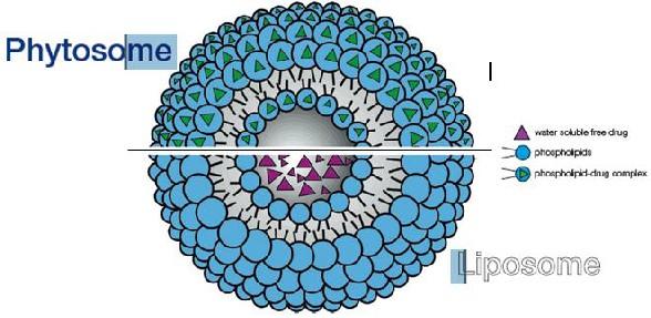 Silymarin Phytosome giúp tăng sinh khả dụng của Silybin