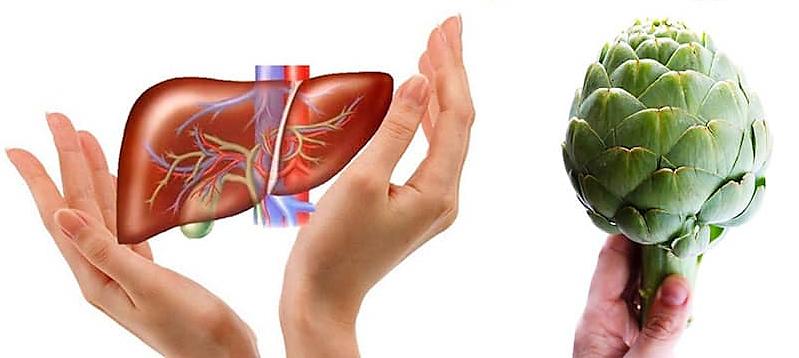 Atiso với tác dụng bảo vệ gan