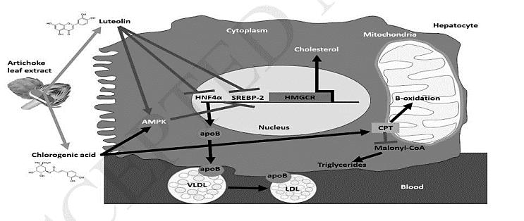 Tác dụng của dịch chiết lá Atiso lên quá trình chuyển hóa lipid ở tế bào gan