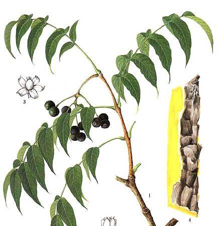 Hoàng bá nguồn chiết xuất Berberin