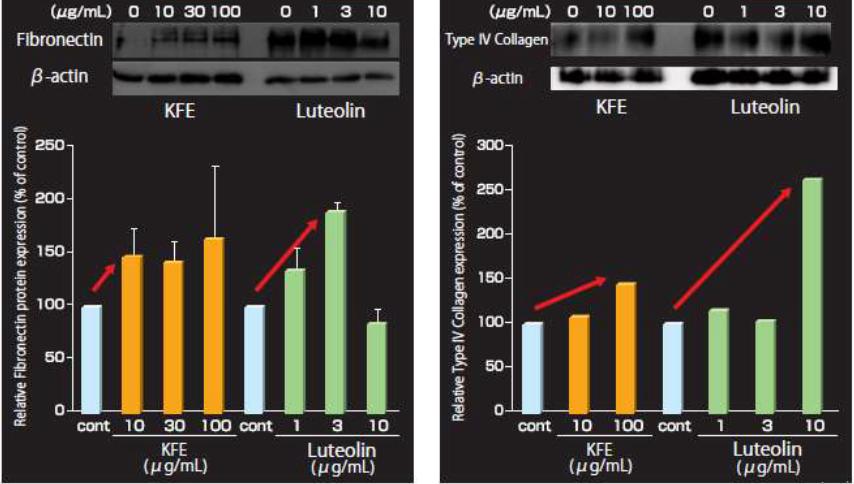 Chiết xuất hoa cúc Kiku làm tăng sự biểu hiện của  Fibronectin và Collagen IV