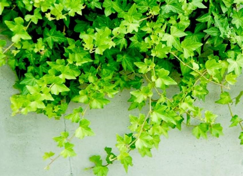 6 tác dụng quý của chiết xuất cao lá thường xuân
