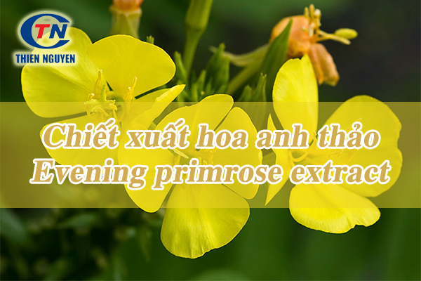 Chiết xuất hoa anh thảo evening primrose extract