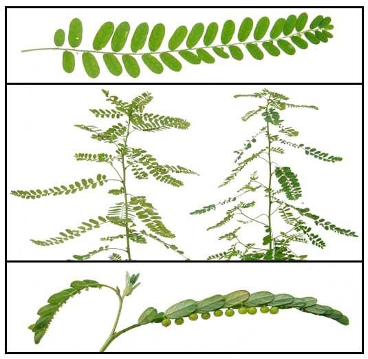 Đặc điểm thực vật của Diệp hạ châu đắng