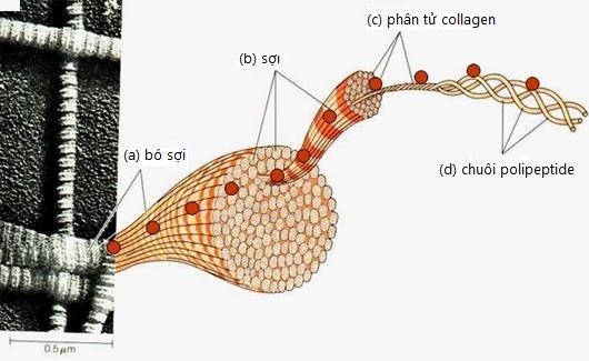 Collagen và cấu trúc của nó