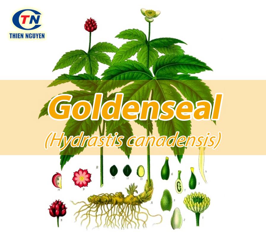 Chiết xuất hải cẩu vàng Goldenseal extract
