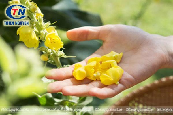 Mullein (Verbascum thapsus) - Chiết xuất thảo bản bông vàng